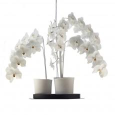 Phalaenopsis Chandelier